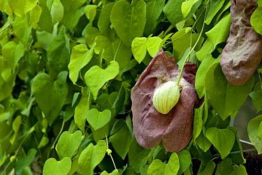 Brazilian Birthwort (Aristolochia brasiliensis) flower  -  VisionsPictures