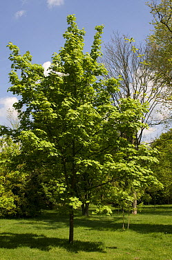 Norway Maple (Acer platanoides) farlake's green variety  -  VisionsPictures