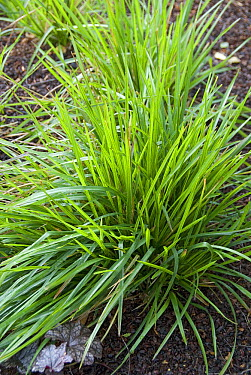 Broadleaf Bluegrass (Poa chaixii)  -  VisionsPictures