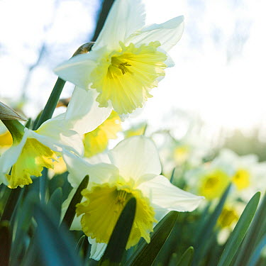 Daffodil (Narcissus sp) ice follies variety flowers  -  VisionsPictures