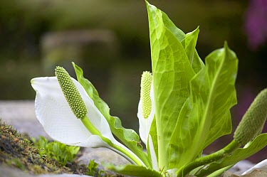 Asian Skunk Cabbage (Lysichiton camtschatcensis)  -  VisionsPictures