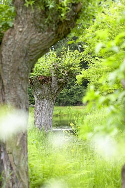 White Willow (Salix alba) trees  -  VisionsPictures