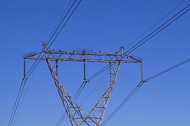 Hadada Ibis (Bostrychia hagedash) group on electricity tower with bird deterrent spikes, Marievale, South Africa  -  Richard Du Toit