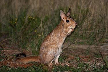 Spring Hare (Pedetes capensis) at night, Kalahari, Northern Cape, South Africa  -  Richard Du Toit