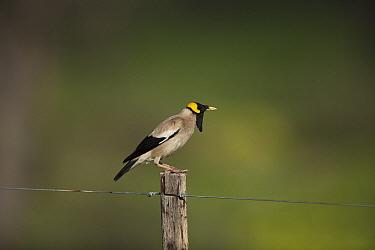 Wattled Starling (Creatophora cinerea) male in breeding plumage, Northern Cape, South Africa  -  Richard Du Toit