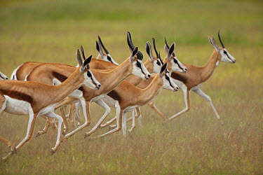 Springbok (Antidorcas marsupialis) group running, Kalahari, Northern Cape, South Africa  -  Richard Du Toit