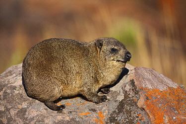 Rock Hyrax (Procavia capensis), Marakele National Park, Limpopo, South Africa  -  Richard Du Toit
