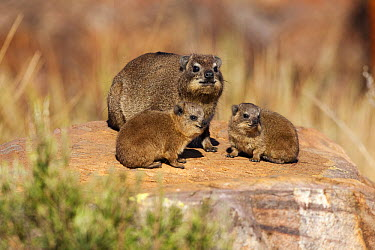 Rock Hyrax (Procavia capensis) mother and young, Marakele National Park, Limpopo, South Africa  -  Richard Du Toit