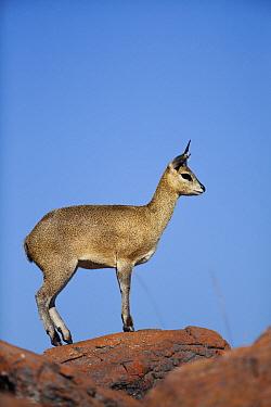 Klipspringer (Oreotragus oreotragus) male, Marakele National Park, Limpopo, South Africa  -  Richard Du Toit