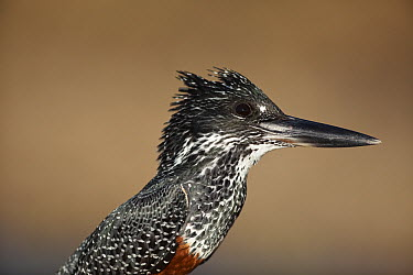 Giant Kingfisher (Megaceryle maxima) female, Kruger National Park, South Africa  -  Richard Du Toit