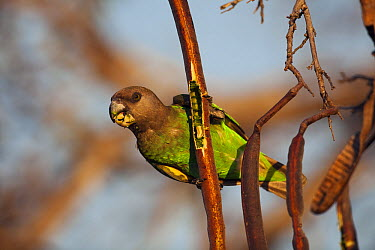 Brown-headed Parrot (Poicephalus cryptoxanthus) feeding on seeds from seed pod, Kruger National Park, South Africa  -  Richard Du Toit