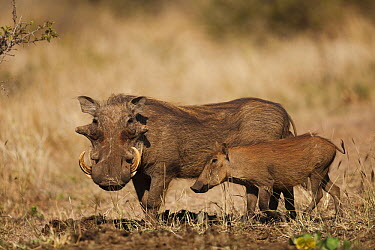 Warthog (Phacochoerus africanus) male and piglet, Kruger National Park, South Africa  -  Richard Du Toit