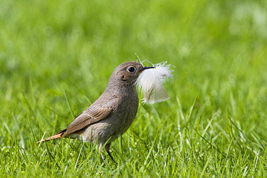 Black Redstart (Phoenicurus ochruros) female carrying feather, Germany  -  Konrad Wothe