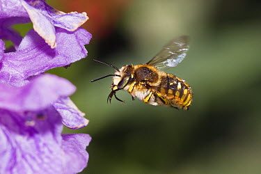 Mason Bee (Anthidiellum strigatum) approaching flower with tongue extended, Bavaria, Germany  -  Konrad Wothe