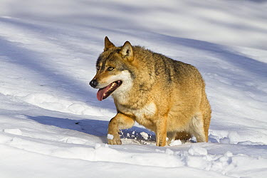 Wolf (Canis lupus) walking in snow, Bavarian Forest National Park, Bavaria, Germany  -  Konrad Wothe