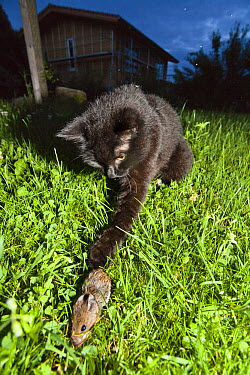 Domestic Cat (Felis catus) catching mouse in garden, Bavaria, Germany  -  Konrad Wothe