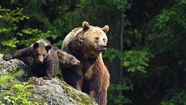 Brown Bear (Ursus arctos) mother with cubs, Bavarian Forest National Park, Bavaria, Germany  -  Konrad Wothe