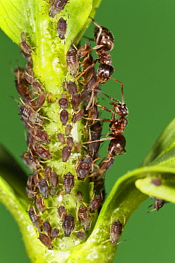 Ant (Formicidae) pair protecting Aphids (Aphis sp) which in turn produce honeydew that ants eat, Bavaria, Germany  -  Konrad Wothe