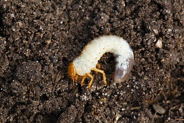 Summer Chafer (Amphimallon solstitiale) larva, Bavaria, Germany  -  Konrad Wothe