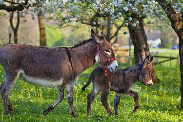 Donkey (Equus asinus) mother with foal in orchard, Bavaria, Germany  -  Konrad Wothe