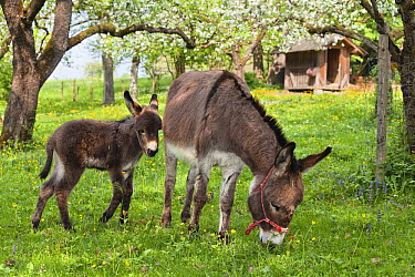 Donkey (Equus asinus) mother grazing with foal in orchard, Bavaria, Germany  -  Konrad Wothe