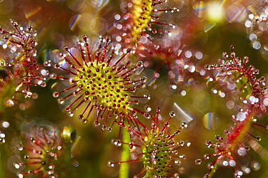 Oblong-leaved Sundew (Drosera intermedia) with dew which attracts and catches prey, Bavaria, Germany  -  Konrad Wothe