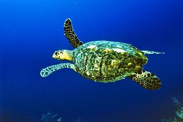 Hawksbill Sea Turtle (Eretmochelys imbricata) swimming, Caribbean  -  Konrad Wothe