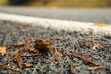 California Newt (Taricha torosa) crossing road during migration to breeding pond, Berkeley, California  -  Sebastian Kennerknecht
