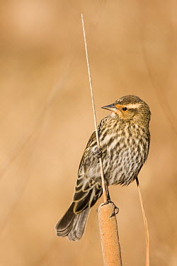 Red-winged Blackbird (Agelaius phoeniceus) female on cattail, Bosque del Apache National Wildlife Refuge, New Mexico  -  Sebastian Kennerknecht