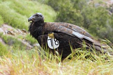 California Condor (Gymnogyps californianus) three year old male with wing tagstag, Pinnacles National Park, California  -  Sebastian Kennerknecht