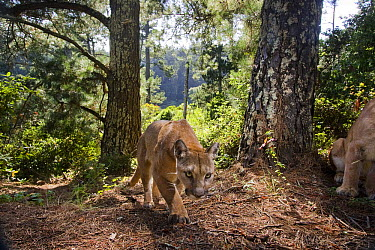 Mountain Lion (Puma concolor) female approaching with male sitting on far right, Aptos, Monterey Bay, California  -  Sebastian Kennerknecht