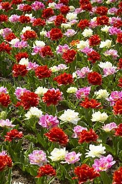Tulip (Tulipa sp) oranje nassau variety, and Tulip (Tulipa sp) peach blossom variety, and Tulip (Tulipa sp) schoonoord variety flowers  -  VisionsPictures