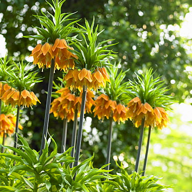 Crown Imperial (Fritillaria imperialis) orange brilliant variety flowers  -  VisionsPictures