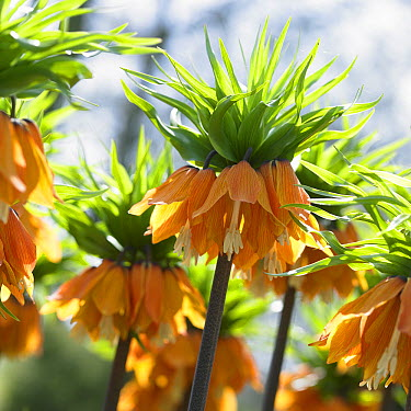 Crown Imperial (Fritillaria imperialis) blom's orange perfection variety flowers  -  VisionsPictures