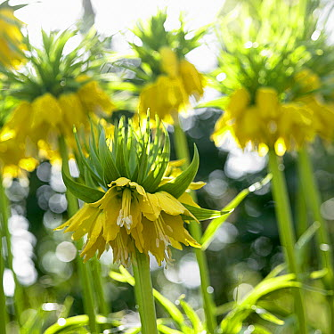 Crown Imperial (Fritillaria imperialis) lutea variety flowers  -  VisionsPictures