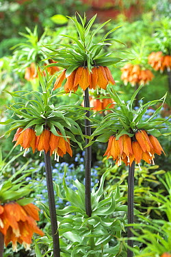 Crown Imperial (Fritillaria imperialis) garland star variety flowers  -  VisionsPictures