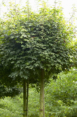 Field Maple (Acer campestre) nanum variety  -  VisionsPictures