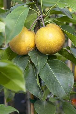 Pear (Pyrus pyrifolia) fruit  -  VisionsPictures