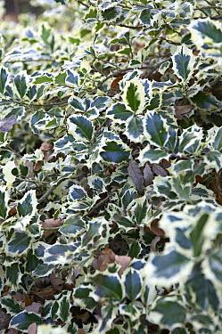 English Holly (Ilex aquifolium) marginata variety  -  VisionsPictures