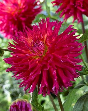 Dahlia (Dahlia sp) mingus jacky variety flower  -  VisionsPictures