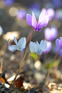 Sowbread (Cyclamen hederifolium) flower  -  VisionsPictures
