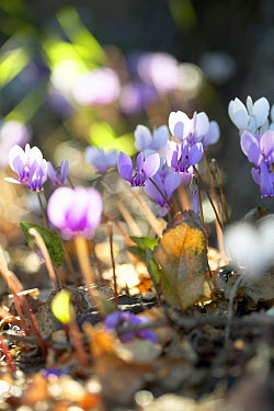 Sowbread (Cyclamen hederifolium) flowers  -  VisionsPictures