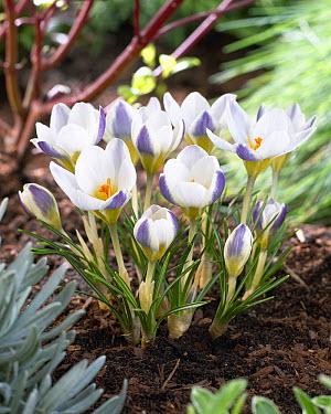 Snow Crocus (Crocus chrysanthus) blue bird variety flowers  -  VisionsPictures