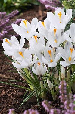 Dutch Crocus (Crocus vernus) jeanne d' arc variety flowers  -  VisionsPictures