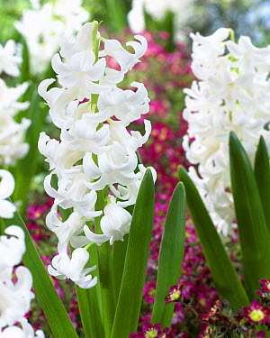 Hyacinth (Hyacinthus sp) l'innocence variety flowers  -  VisionsPictures