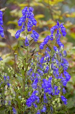 Carmichael's Monkshood (Aconitum carmichaelii) spatlese variety flowers  -  VisionsPictures