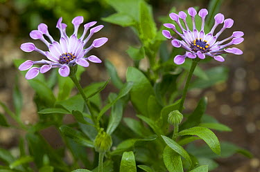 Cape Daisy (Osteospermum sp) astra pink spoon variety flowers  -  VisionsPictures