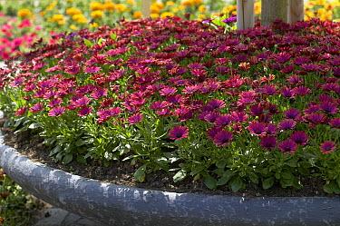 Cape Daisy (Osteospermum sp) flowers  -  VisionsPictures