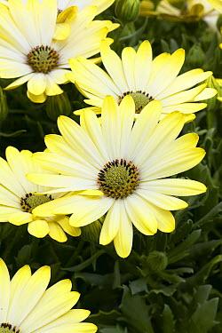 Cape Daisy (Osteospermum sp) serenity sunburst variety flowers  -  VisionsPictures