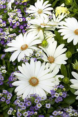 Cape Daisy (Osteospermum sp) serenity vanilla variety flowers  -  VisionsPictures